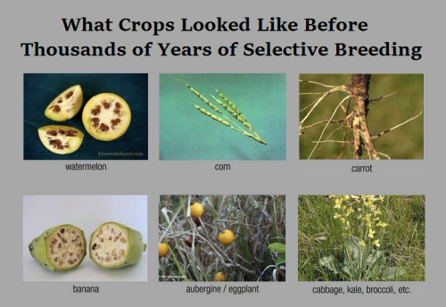 Study: GMOs get bad rap inEurope