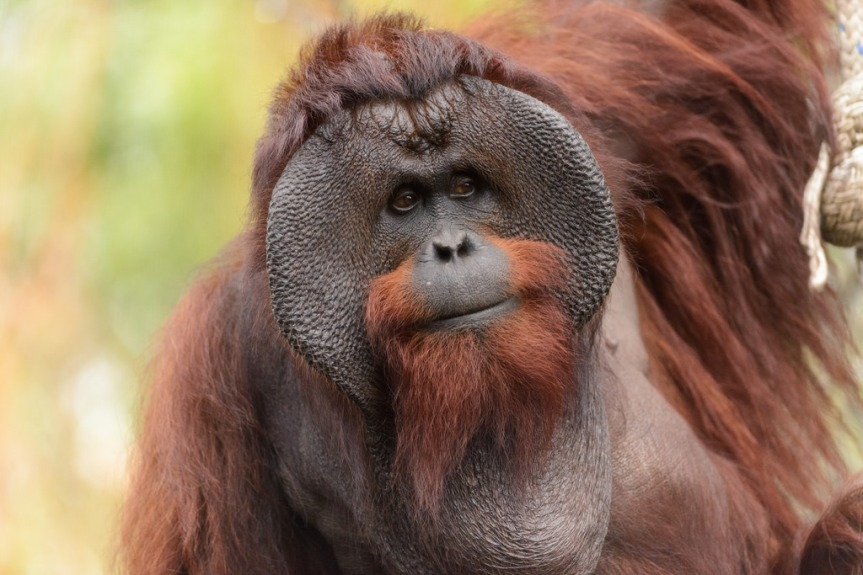"Animal ""Rights"" Activists Demand Zoo Closure Due to Video of ""Smoking Orangutan"""