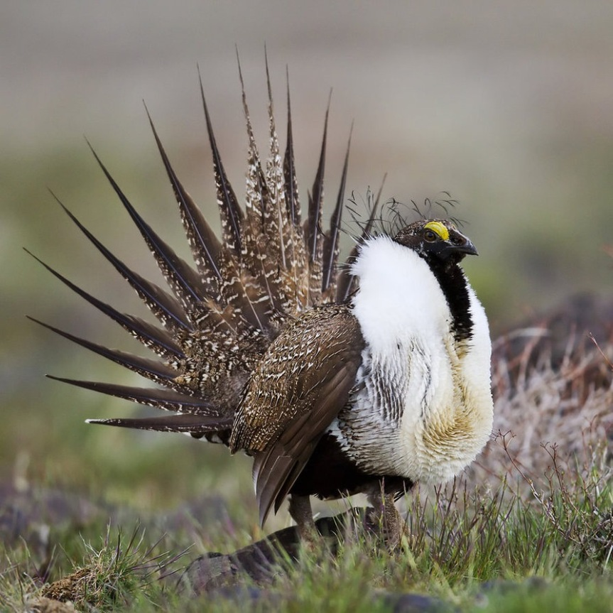 Environmentalists Use Sage Grouse to Shut Down Oil Drilling