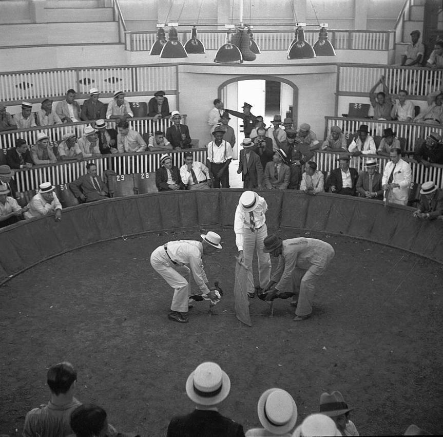 Cockfighting is Legal in Puerto Rico … SortOf