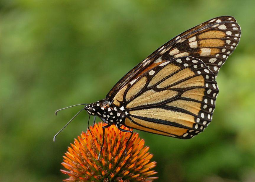 Why Does Greenpeace likeButterflies?