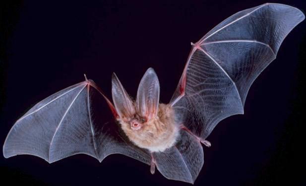 Bat Examples Give Insights to VirusImmunity